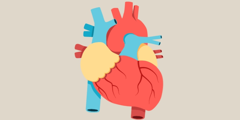 Quiz: How Well You Know About Anatomy of Human Heart?