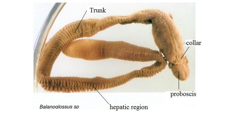 Balanoglossus Quiz: How Much You Know About Balanoglossus?