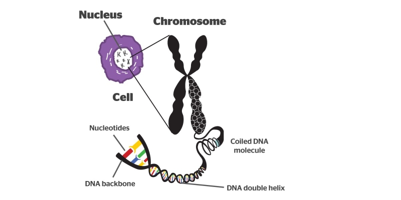 Physical Structure of Eukaryotic Chromosomes Trivia Quiz