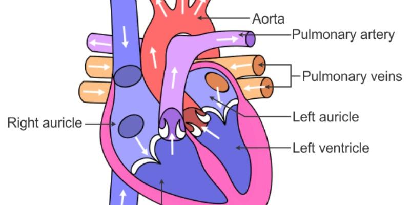 Ultimate Trivia Quiz on Human Heart