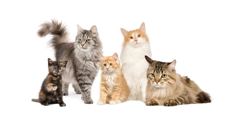 What Breed Is My Kitten Quiz