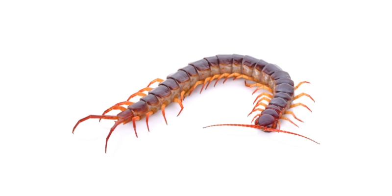 Ultimate Trivia Quiz on Centipedes! Test Your Knowledge About Centipedes Quiz