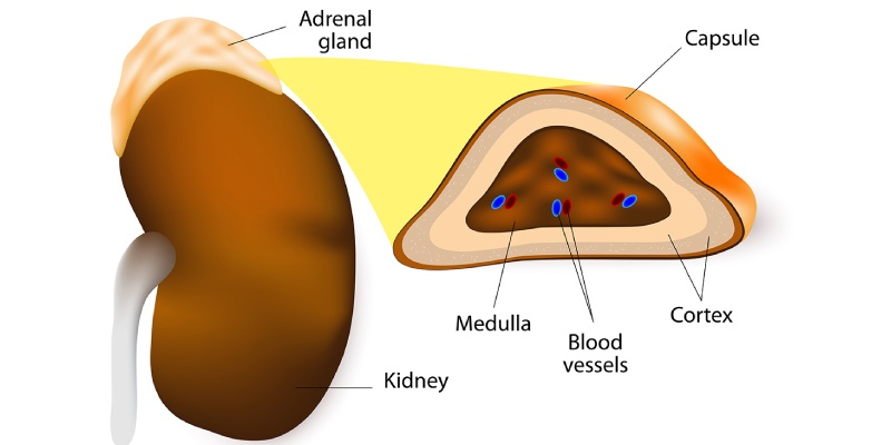 Trivia Quiz On The Adrenal Gland