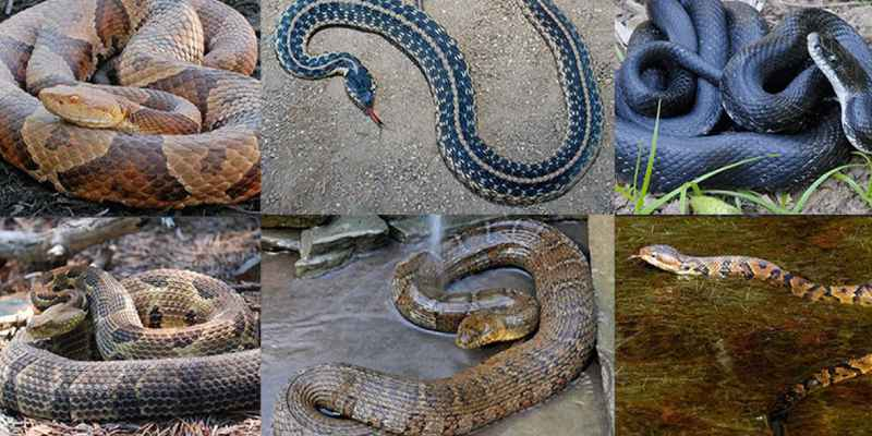 Non Poisonous Snakes of India Trivia Quiz! Let