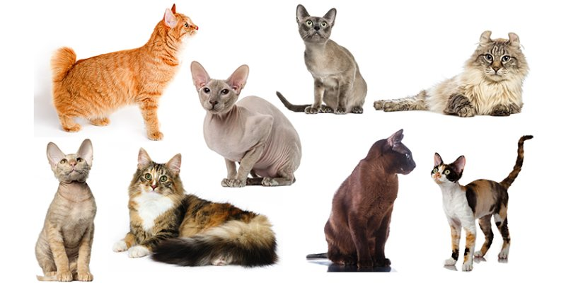 What Breed Is My Cat Quiz