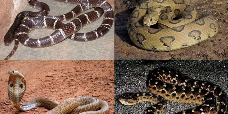 Poisonous Snakes of India Trivia Quiz! Take An Ultimate Quiz About Poisonous Snakes of India