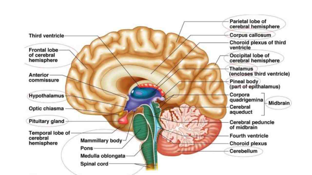 Central Nervous System Trivia Quiz About 11th Grade Student! Test Your Knowledge About Central Nervous System