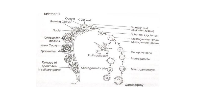 Life History of Plasmodium Trivia Quiz