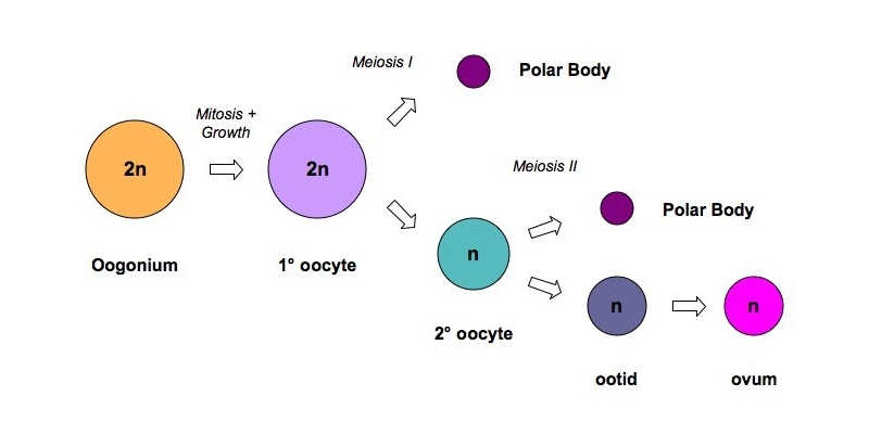 Oogenesis Trivia Quiz