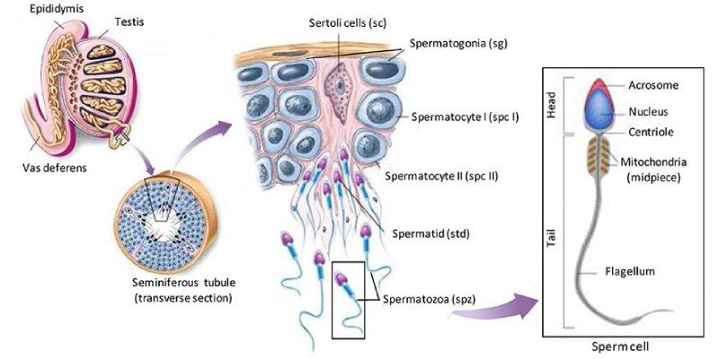 Spermatogenesis Trivia Quiz