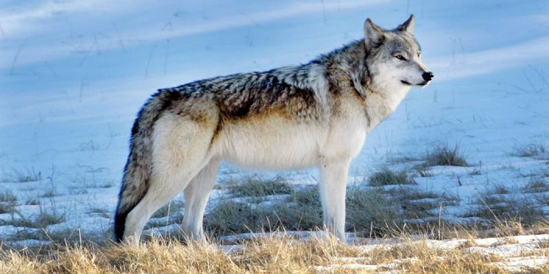 Wolf Quiz: How Much You Know About Wolf?