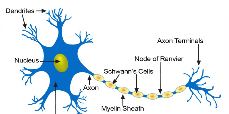 Quiz: Test Your Knowledge About Neuron As Structural And Functional Unit Of Neural System