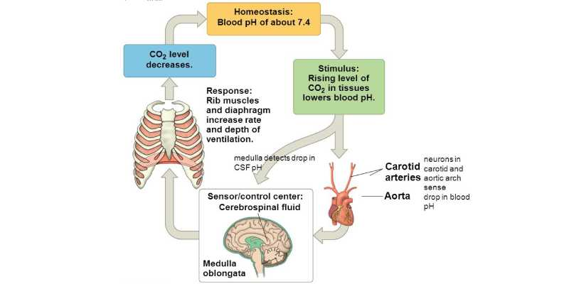 Trivia Quiz: How Much You Know About Homeostasis?