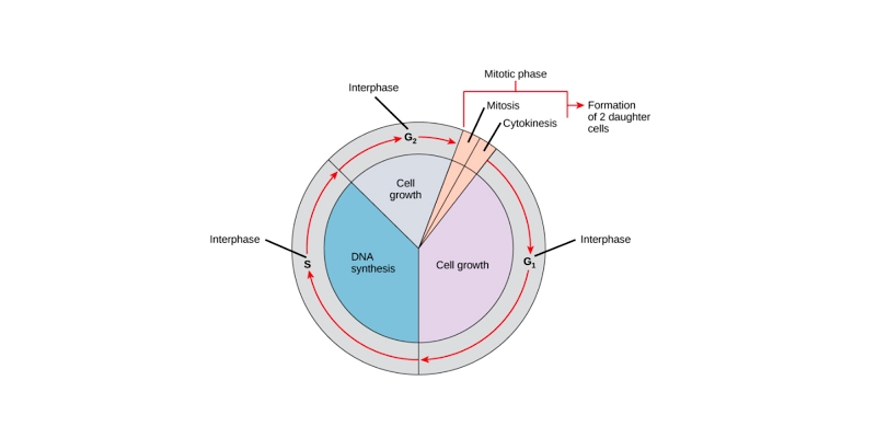 Quiz: How Much You Know About Cell Cycle?