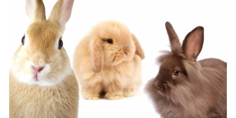 What Breed of Rabbit Should You Get Quiz