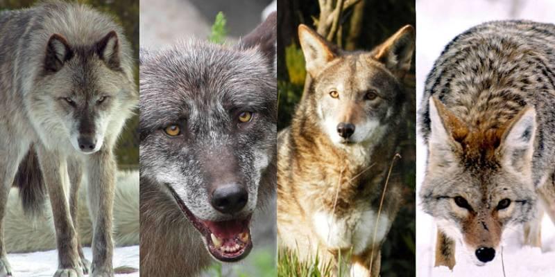 Quiz: What Kind Of Wolf Are You?