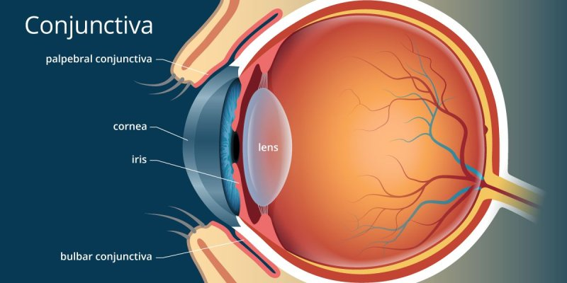 Quiz: How Much You About Conjunctiva?