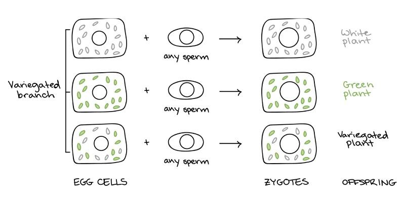 Cytoplasmic Inheritance and Maternal Inheritance Trivia Quiz