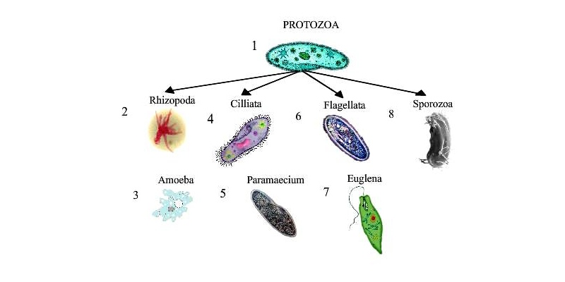 Ultimate trivia quiz on Phylum Protozoa, Subphylum Zooflagellata or Disease caused by Zooflagellata