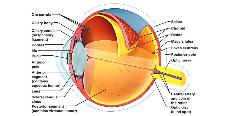 Ultimate Trivia Quiz On Sensory Organs Of The Vision Eye For 11th Grade! How Much You Know About Sensory Organs Of The Vision Eye?