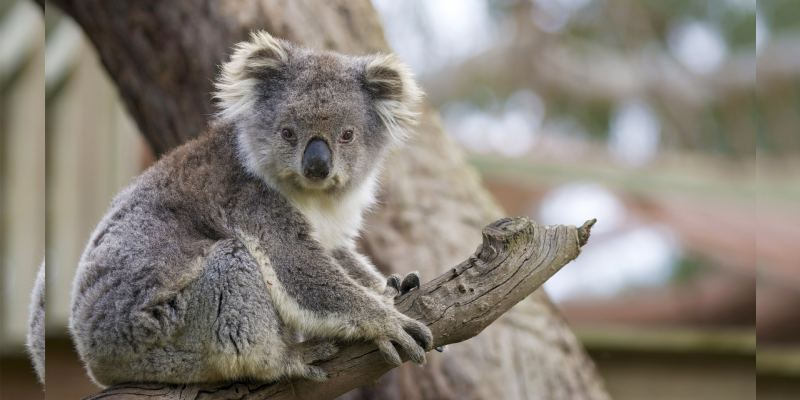 Quiz: How Much You Know About Koala Animal?