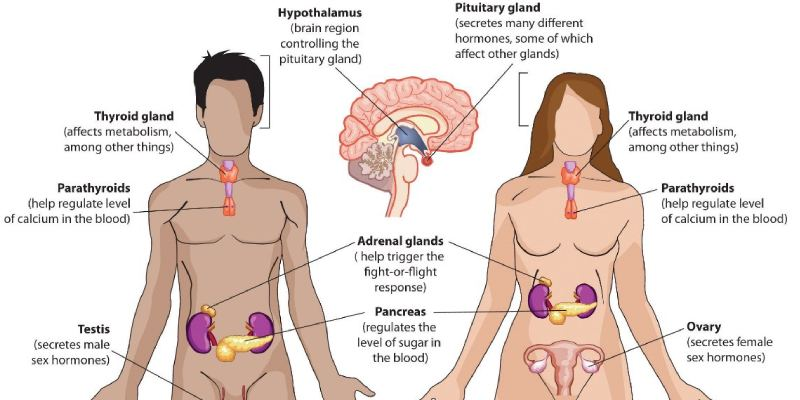 Trivia Quiz On Endocrine Glands Of Human