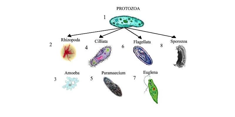 Protozoa >> Ultimate Trivia Quiz On Phylum Protozoa Subphylum Sarcodina