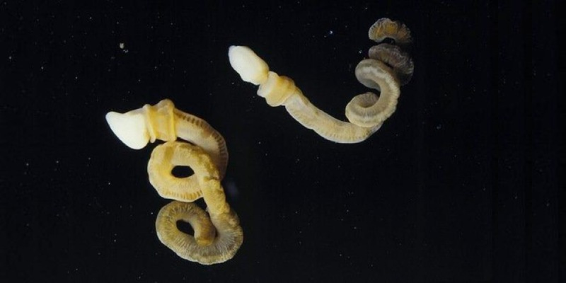 Acorn Worm Quiz: How Much You Know About Acorn Worms?