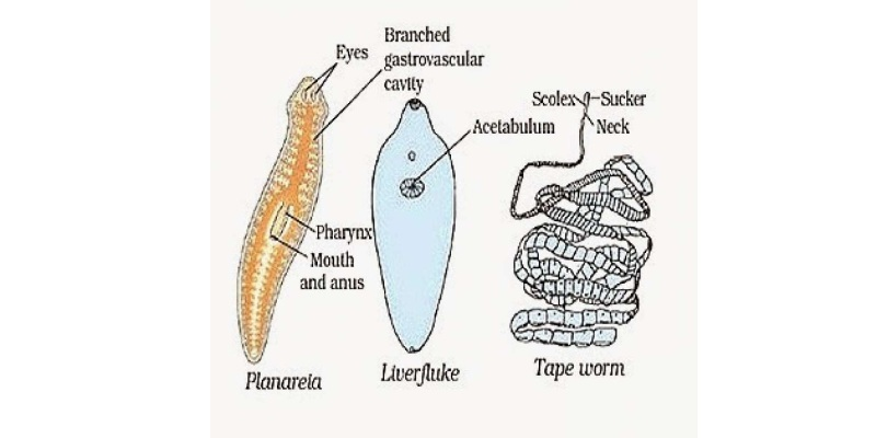 Check Your Knowledge About Phylum Platyhelminthes Trivia Quiz