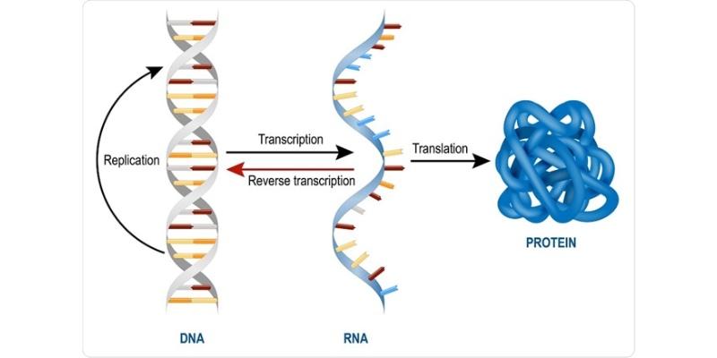 RNA and Types of RNA Trivia Quiz