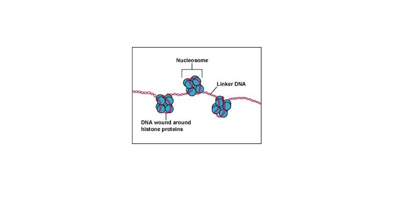 Chemical Composition of Eukaryotic Chromosomes Trivia Quiz