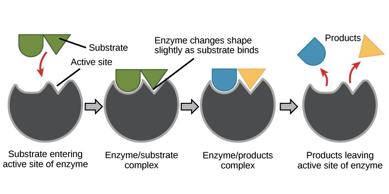 Check Your Knowledge About Enzyme! How Much You Know About Enzyme?
