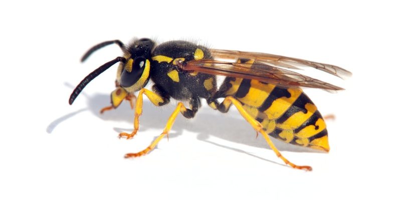 Test Your Knowledge About Wasp Insect! Let
