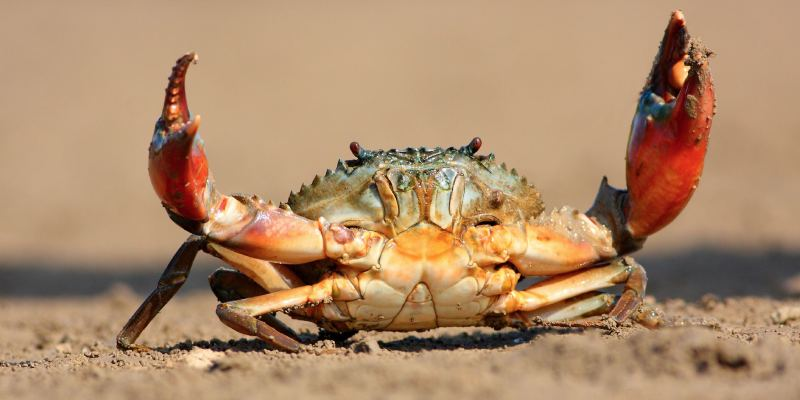 Crab Quiz: How Much You Know About Crabs?